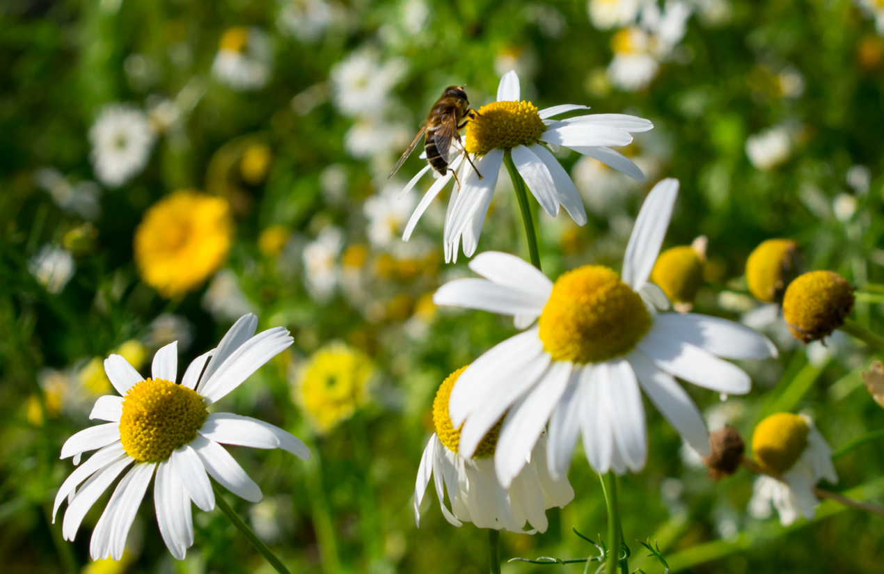 How can I help the Honey Bees and other Pollinators?